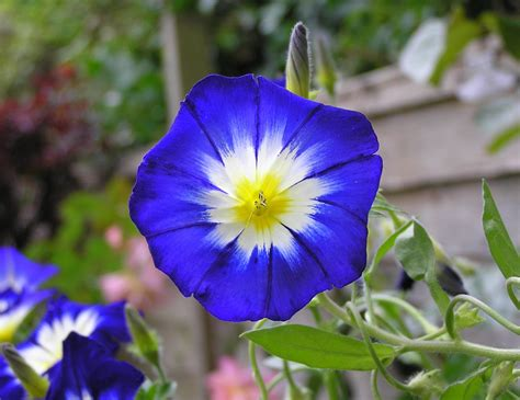 imagenes de rosas tricolor file convolvulus tricolor jpg wikipedia