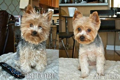 yorkie poodle lifespan 17 best images about grooming shop my on