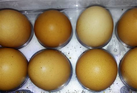Bibit Ayam Petelur Cokelat fakta kerabang telur cokelat dan putih bebeja