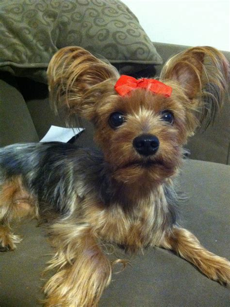 yorkies with bows 67 best images about i want a yorkie on