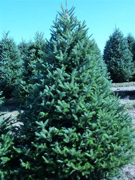 Fraser Fir Tree - wholesale fraser fir trees
