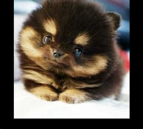 pomeranian and husky mix price pin pomeranian husky mix puppies for sale on