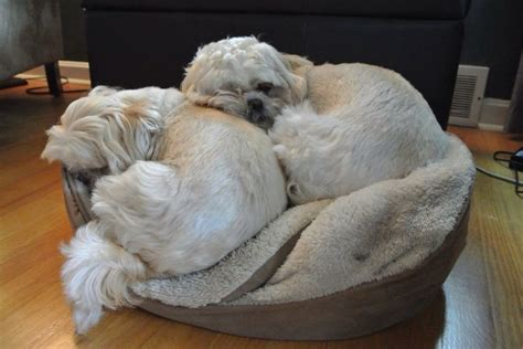 shih tzu cuddly 78 images about shih tzu on pets dangerous dogs and puppies