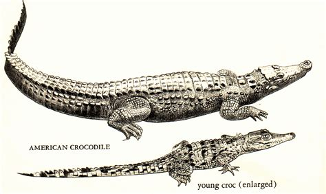 Caiman Vs Alligator Vs Crocodile