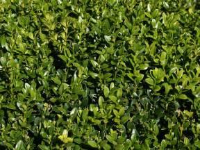 Small Summer Flowering Shrubs - buy buxus sempervirens