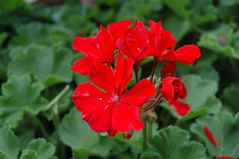 tango deep red geranium pelargonium tango deep red