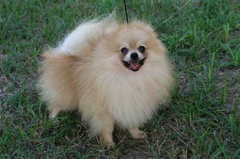 local pomeranian breeders 73 best images about pomeranian lowchen germany on happy dogs