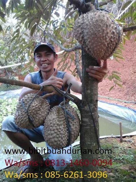 bibit durian bibit durian bawor durian jual bibit