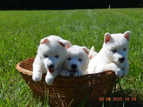 wooly husky puppy snow wooly husky puppies for sale
