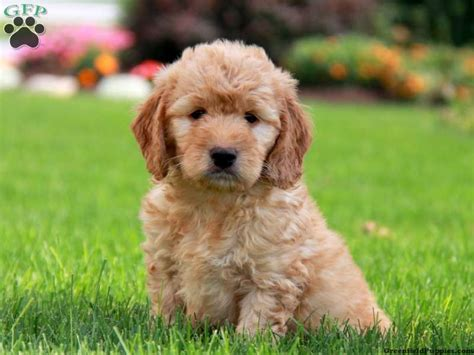 mini doodle dogs for sale richie mini goldendoodle puppy for sale from gordonville