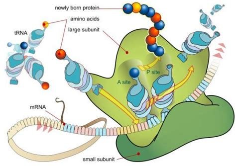 protein biology biology for proteins and amino acids