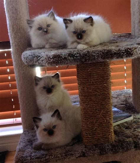 ragdoll rag f 04 204 best ragdoll cats images on kawaii cat