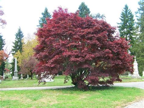dwarf japanese maple bloodgood