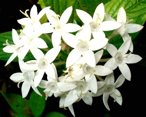 White Flowers by File Pentas Lanceolata White Flowers Jpg Wikimedia Commons