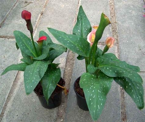 calla in vaso calla pianta piante da giardino pianta calla