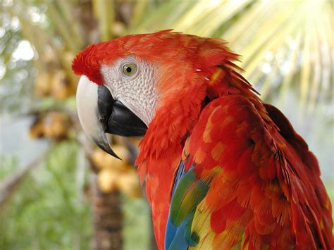 colorful macaw wallpaper amazing colorful red macaw 4k laptop backgrounds and