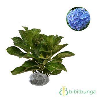 tanaman hias blue bell tanaman blue mophead hydrangea bibitbunga
