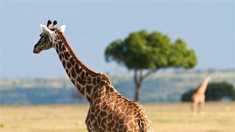 imagenes de tigres y jirafas jirafa en la sabana 1920x1080 fondos de pantalla y