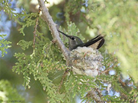 hummingbird nest cam 2013