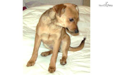 pomeranian puppies for sale in flint michigan miniature pinscher puppy for sale near flint michigan eda95297 24f1