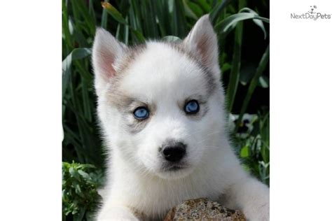 husky puppies for sale in missouri siberian husky puppy for sale near joplin missouri d1545a43 c761