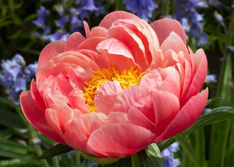 Home Care Tips paeonia coral sunset peony