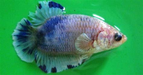 cara menghasilkan warna ungu pada ikan cupang serba serbi ikan cupang cupang hias grosir betta splendens