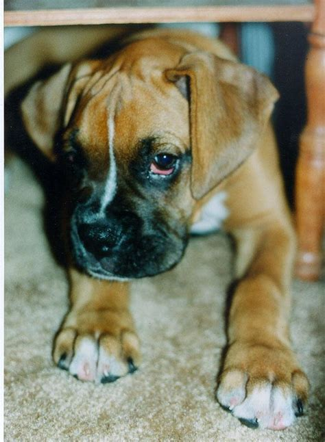 boxer puppies ta boxer dogs gallery