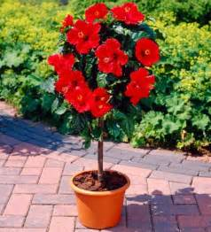 Patio Hibiscus by Red Tropical Hibiscus Tree Syriacus For Sale Brighter