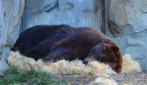 imagenes de animales que hibernan hibernaci 243 n animal regenera c 233 lulas cerebrales y abre