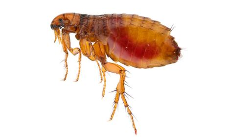get rid of dog fleas in house how to get rid of fleas in your house prevent bites and
