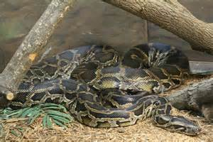 burmese python by daikaiju fanboy on deviantart