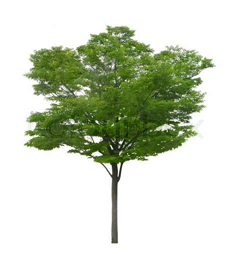 white or green tree green tree isolated on a white background stock photo