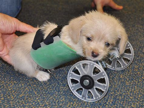 how are puppies born tumbles the puppy learns to walk with wheelchair business insider