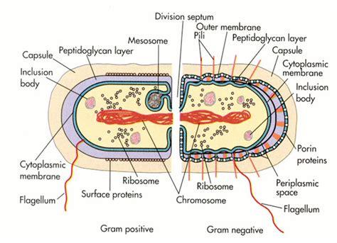 tuberculosis bacteria diagram bacterial cell diagrams diagram site
