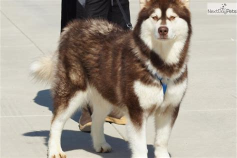 alaskan malamute puppies for sale california akc alaskan malamute puppies alaskan malamute for sale breeds picture