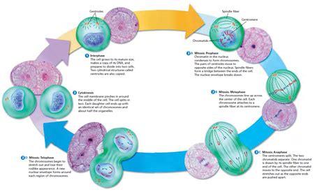 mitosis diagram pin mitosis pelautscom on