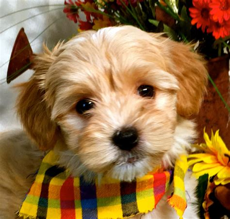 havanese puppies for adoption scooter havanese puppy for adoption havanese puppys