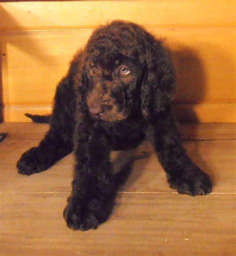 newfypoo puppies best newfypoo puppies newfoundland poodle mix call 719 320 7146