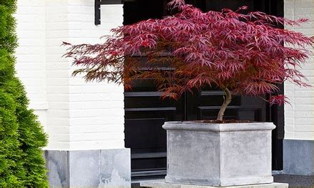 Ecer Platinum four japanese maple acer trees groupon goods