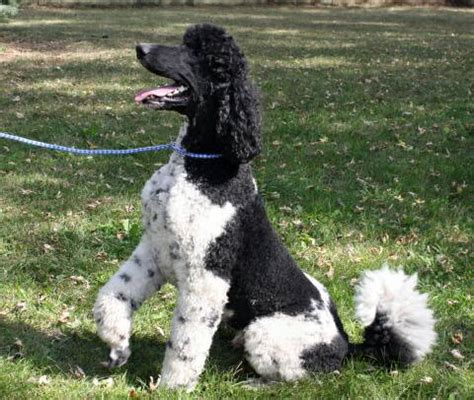 black standard poodle puppies for sale black and white standard poodle puppies for sale dogs our friends photo