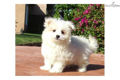malti pom puppies for sale malti pom puppy for sale maltese x pomeranian breeds picture
