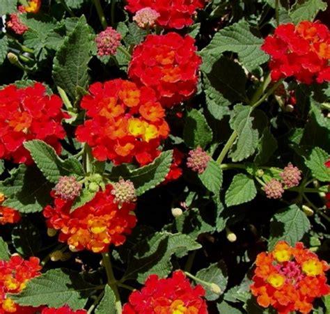Tanaman Bunga Gantung jenis tanaman hias gantung untuk memperindah rumah