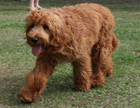 doodle doodle breeders the gallery for gt brown goldendoodle