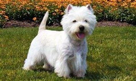 elenco cani da appartamento cani piccola taglia le razze pi 249 adatte per tenerle in casa