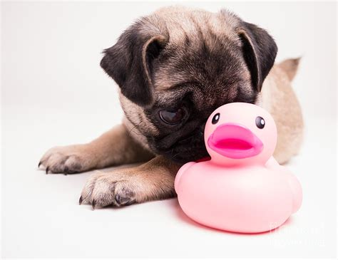 pink pug adorable pug puppy with pink rubber ducky photograph by edward fielding