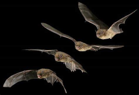 volpe volante australiana flash sul mondo di tutto di pi 249 i pipistrelli i