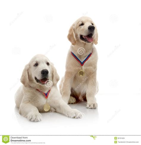 golden retriever 3 months puppies three month puppy golden retriever royalty free stock photo image 26761625