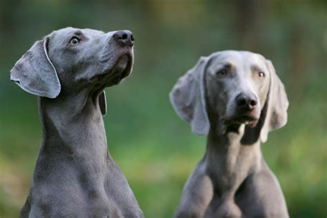 gray dogs gray ghost dogs by sannas on deviantart