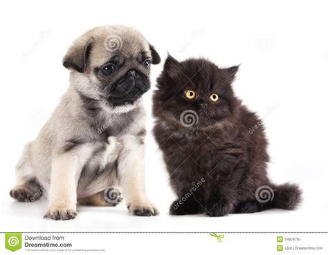 pug cat kitten and black pug puppy stock image image 34976701